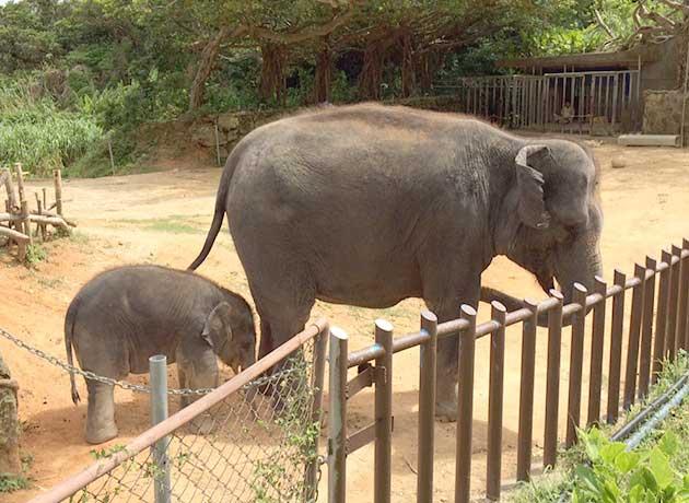 赤ちゃん象 「琉美」
